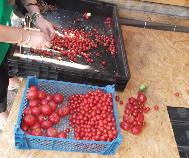 tomates belles